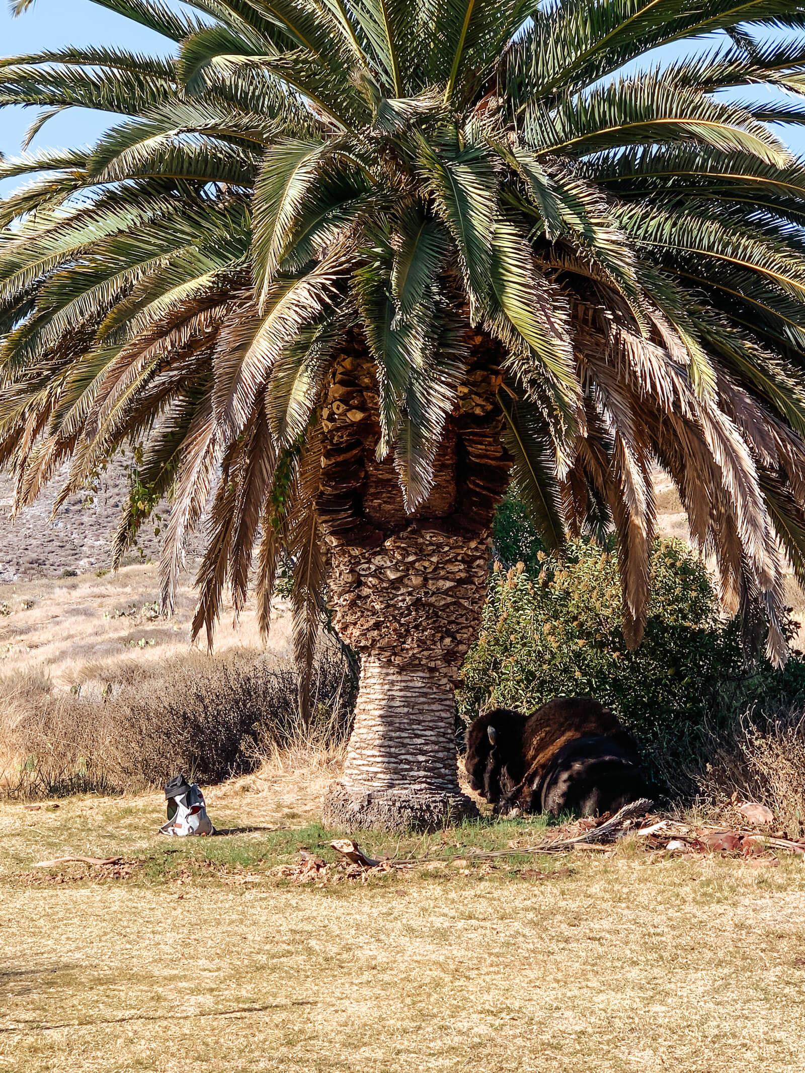 Les bisons à Little Harbor sur la Catalina Island